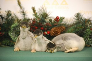 Three Gentoo penguin chicks are now a part of the Moody Gardens family.