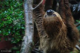 SLOTHS ARRIVE AT MOODY GARDENS