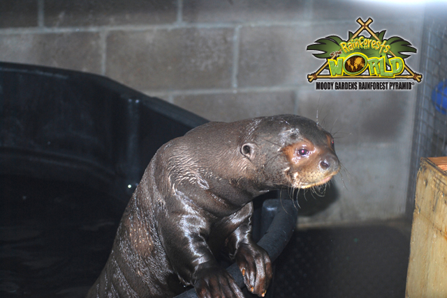RAINFOREST PYRAMID® UPDATE: Giant Otters