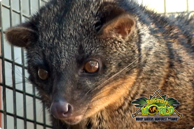 RAINFOREST PYRAMID® UPDATE: African Palm Civet