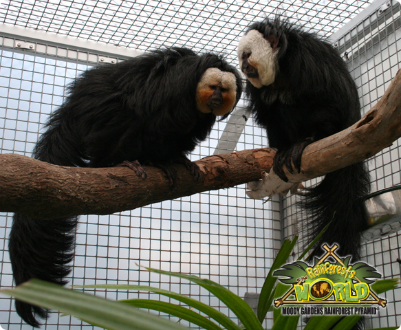 RAINFOREST PYRAMID® UPDATE: White-faced Saki monkeys