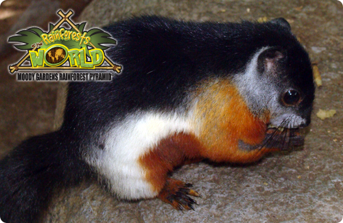 RAINFOREST PYRAMID® UPDATE: Prevost's Squirrel