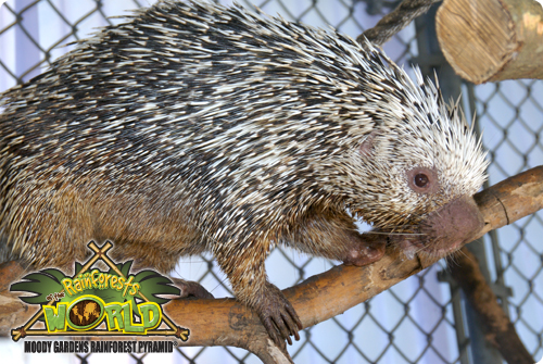 RAINFOREST PYRAMID® UPDATE: Prehensile Tailed Porcupine