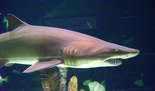 sharks Moody Gardens
