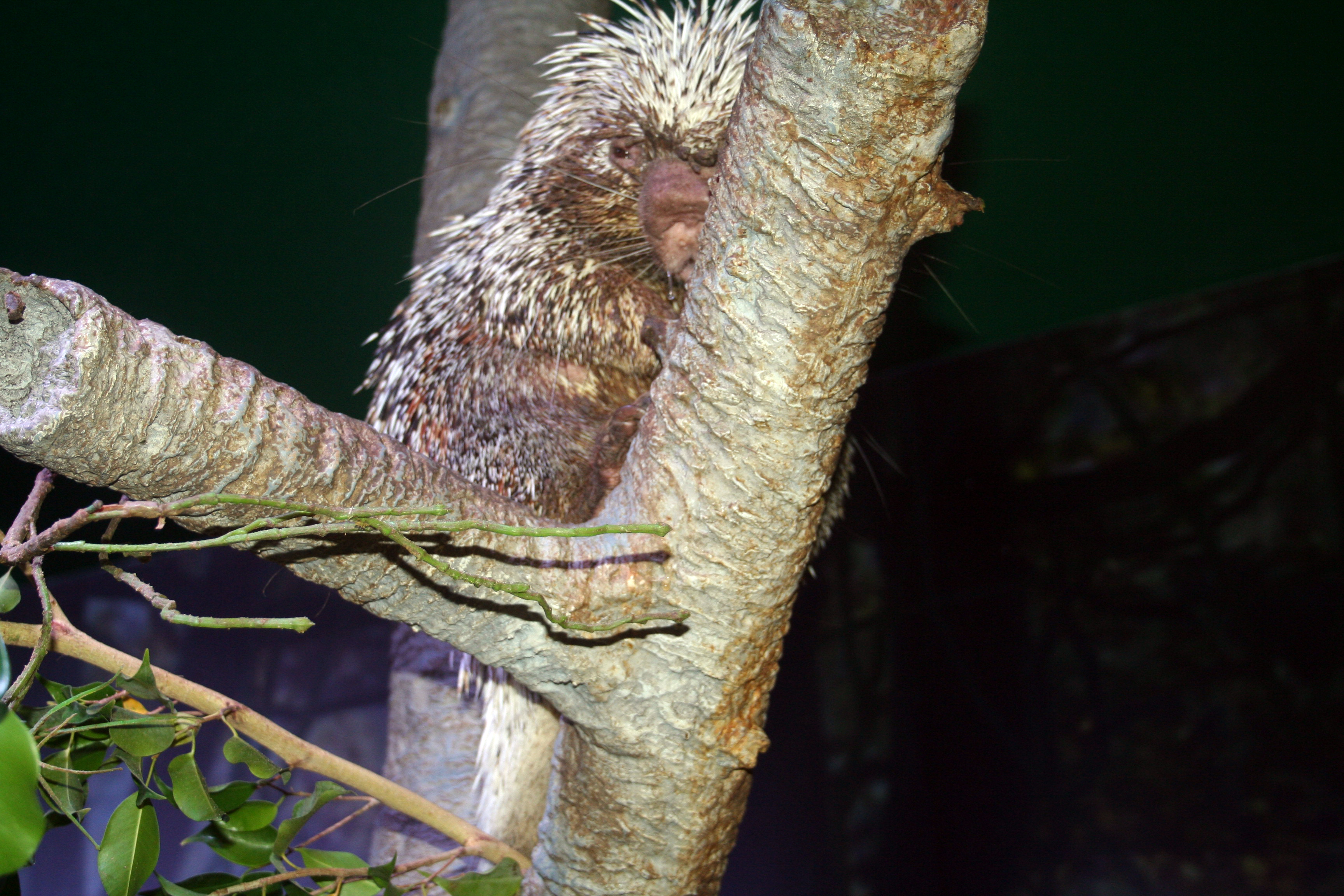 Porcupine Baby Born at Moody Gardens