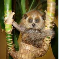 pygmy loris