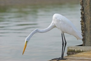 egret