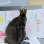 King Penguin Chick - J.J. Watt