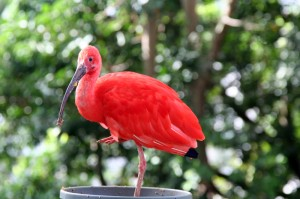 Full-grown Scarlet Ibis
