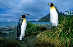 King Penguin two