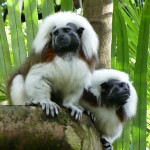 cotton top tamarins pair