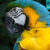 Blue & Yellow Macaw (Ara ararauna)