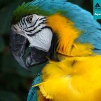 Blue & Yellow Macaw (Ara ararauna)
