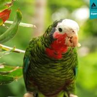 Cuban Amazon Parrot (Amazona leucocephala)