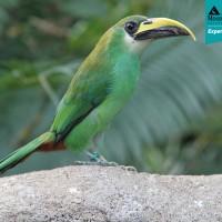 Emerald Toucanet (Aulocorhynucus prasinus prasinus)