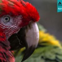 Hybrid Macaw (Ara species)