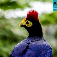 Lady Ross' Turaco (Musophaga rosae)