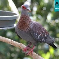 Speckled Pigeon  (Columba guinea phaeonota)