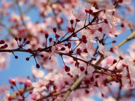 almond-blossom-5290_640