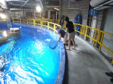 Releasing exhibit specimens into Texas State Aquarium's main exhibit.
