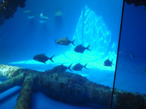 Pompano and Cownose Stingrays in Texas State Aquarium's main exhibit Wednesday 20 May.