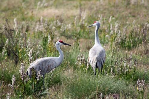 birding-sandhillcranes