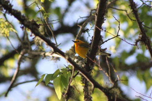 birding-warbler