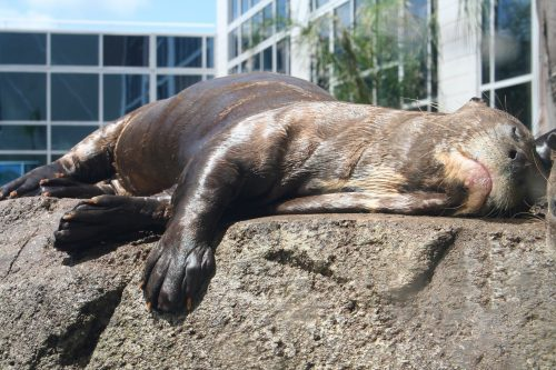 River otter sleeping